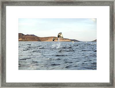 Smoothtail Mobula Rays Leaping Framed Print by Christopher Swann