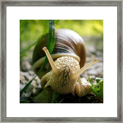 Snail Closeup Framed Print