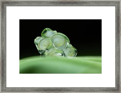 Snail Eggs Framed Print by Melvyn Yeo