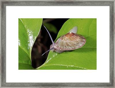 Snail In The Rainforest Understory Framed Print