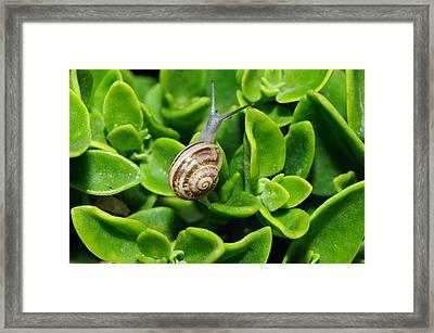 Snail Framed Print by Ivelin Donchev