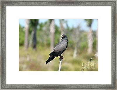 Snail Kite Framed Print by Jennifer Zelik