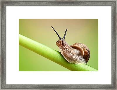 Snail On Green Stem Framed Print by Johan Swanepoel