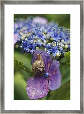 Snail On Hydrangea Flower Japan Framed Print by Hiroya Minakuchi