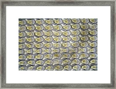 Snail Radula. Lm Framed Print by Science Stock Photography