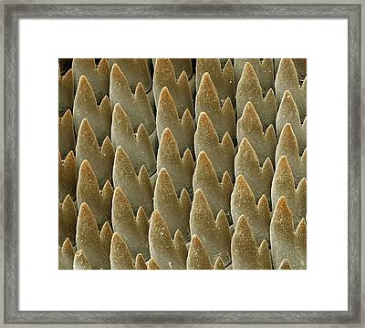 Snail Radula Framed Print by Science Photo Library