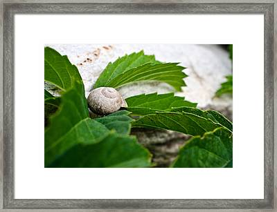 Snail Shell Framed Print by Chase Taylor