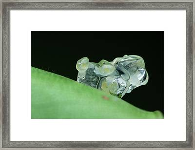 Snails Hatching Framed Print by Melvyn Yeo