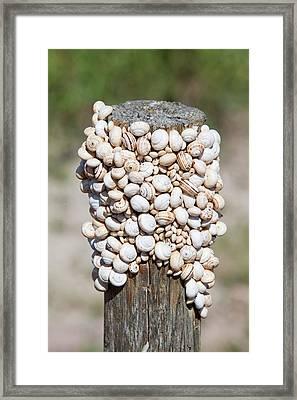Snails On A Fence Post Framed Print