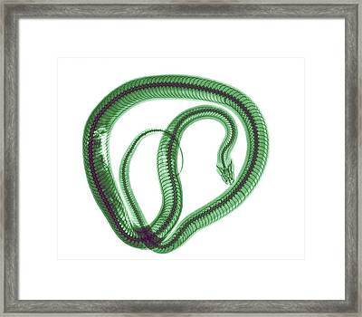 Snake Under X-ray Framed Print