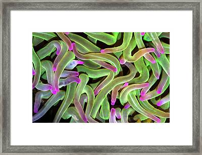 Snakelocks Anemone Tentacles Framed Print by Alex Hyde
