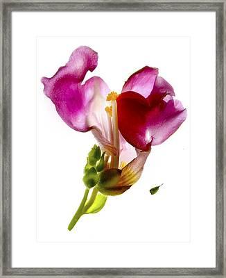 Snapdragon Pink Framed Print