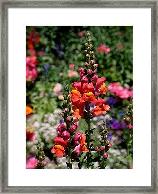 Snapdragons Framed Print
