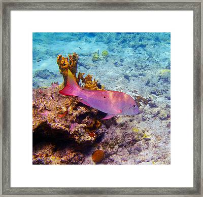 Snapper Reef Framed Print by Carey Chen