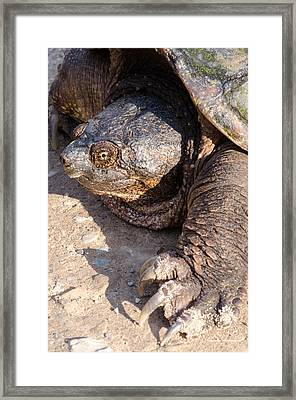 Snapping Turtle Framed Print by Thomas Pettengill