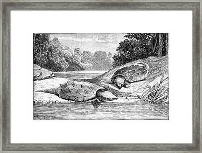 Snapping Turtles Framed Print by Science Photo Library