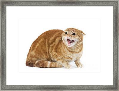 Snarling Cat Framed Print by Jean-Michel Labat