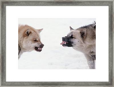 Snarling Huskies Framed Print