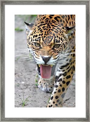 Snarling Jaguar  Framed Print