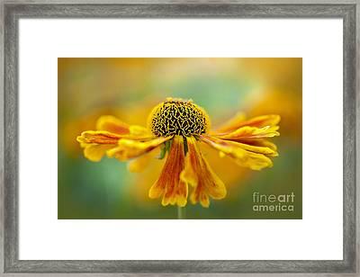 Sneezeweed Framed Print by Jacky Parker