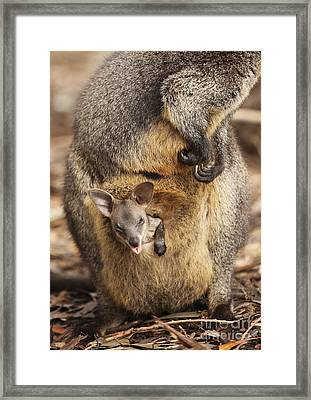 Sneezing Wallaby Framed Print