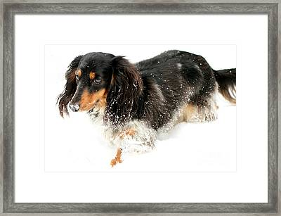 Sniffing Out Snow Framed Print
