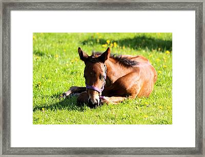 Snoozing Foal Framed Print