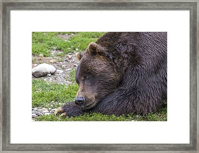 Snoozing Grizzly Framed Print by Saya Studios