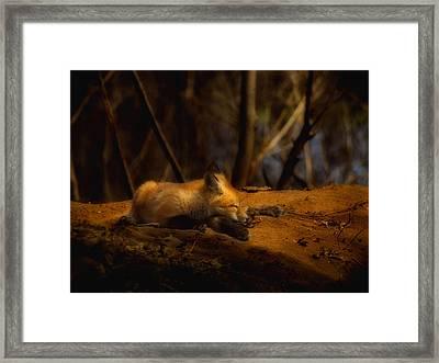 Snoozing Kit Fox Framed Print by Thomas Young