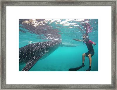 Snorkeler With A Whale Shark At Surface Framed Print by Scubazoo