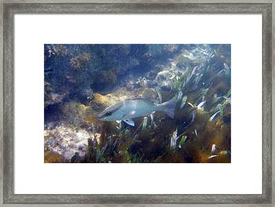 Snorkeling In The Tortugas Framed Print