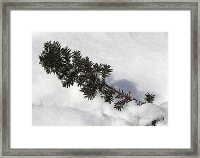 Snow And Pine Needles Framed Print