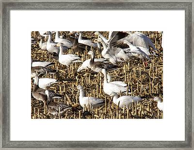 Snow And Ross's Geese Framed Print by Jill Bell