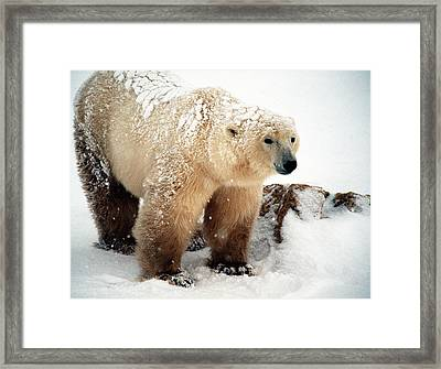 Snow Bear Framed Print by Alice Ramirez