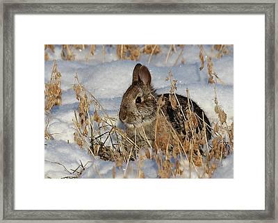Snow Bunny Framed Print by Penny Meyers