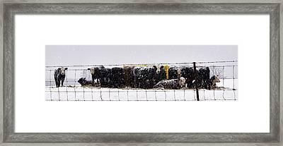 Snow Calves Framed Print by Cricket Hackmann