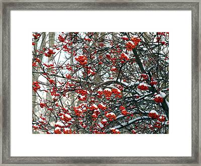 Snow- Capped Mountain Ash Berries Framed Print