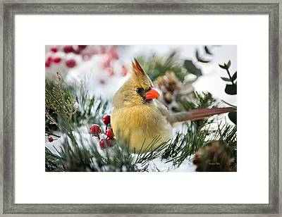 Snow Cardinal Framed Print by Christina Rollo