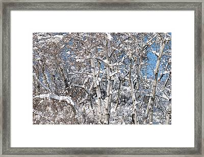 Snow Covered Birch Trees Framed Print