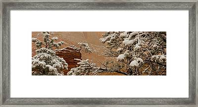 Snow Covered Branches Of Ponderosa Pine Framed Print by Panoramic Images