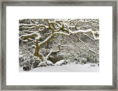 Snow-covered Japanese Maple, Portland Framed Print by William Sutton