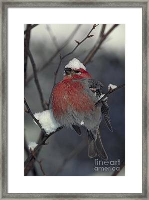 Snow Covered Pine Grosbeak Framed Print by Stephen J Krasemann