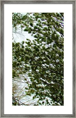 Snow Covered Pine Trees Framed Print by Lanjee Chee