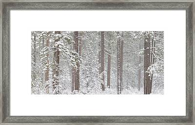 Snow Covered Ponderosa Pine Trees Framed Print by Panoramic Images