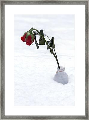 Snow-covered Rose Framed Print by Joana Kruse