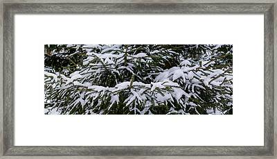 Snow Covered Spruce Tree - Featured 2 Framed Print by Alexander Senin