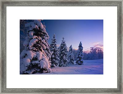 Snow Covered Spruce Trees At Sunset Framed Print