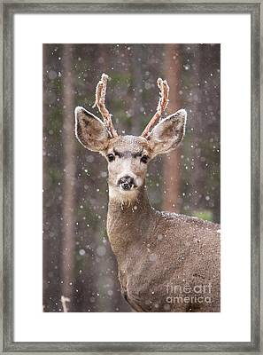 Snow Deer 1 Framed Print by John Wadleigh