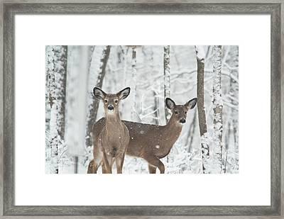 Snow Deer Framed Print