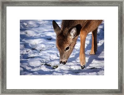 Snow Digging Framed Print by Karol Livote